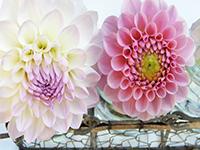 Какие луковичные цветы сажают весной