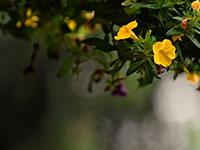 Рассада петунии: посев, выращивание