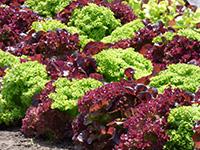 Что посадить на огороде в сентябре?