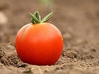 Стрик томатов: кружева и рюши на кустах