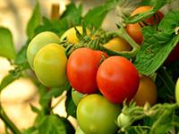 Почему трескаются помидоры в теплице?
