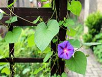 Легкие вьющиеся растения для вертикального озеленения участка