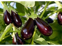 Как подготовить семена баклажана к посеву