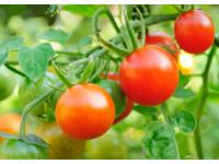 Фитофтороз на томатах: меры борьбы