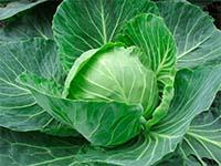 Белокочанная капуста: особенности выращивания