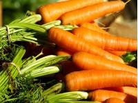 Подзимние посевы моркови