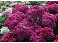 Очиток видный - украшение осеннего сада