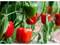 Когда и чем кормить в теплице перцы