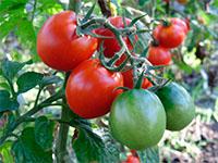Когда и чем подкармливать томаты