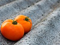 Как правильно выбрать семена томатов