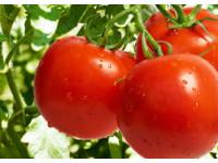 Как опылять томаты