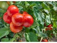 Когда и чем подкармливать томаты в теплице
