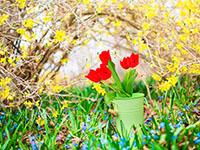 Что делать с тюльпанами после цветения?