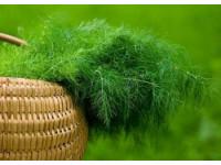 Выращиваем пряновкусовые растения